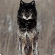 black wolf 1992
